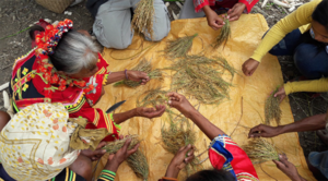 Lumads collecting traditional varieties of rice. (photo: MASIPAG-Mindanao)