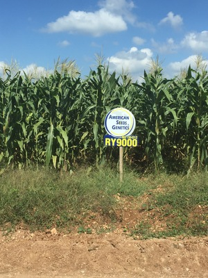 Hybrid corn, grown by Menonite farmers in Yucatan Peninsula in México, with enormous amounts of glyphosate.