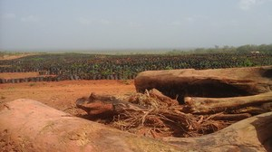 Rubber tree seedlings have replaced food crops. Photo: Eburnie Today