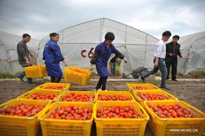 Farmers pack tomatoes in Guandao village, southwest China, during the 2014 spring harvest. Photo: Xinhua/Lu Boan