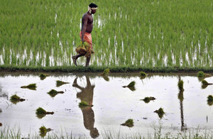 Flooded paddy in Orissa: the average farm size in India roughly halved from 1971 to 2006, doubling the number of farms measuring less than two hectares. (Photo: Biswaranjan Rout/Associated Press)
