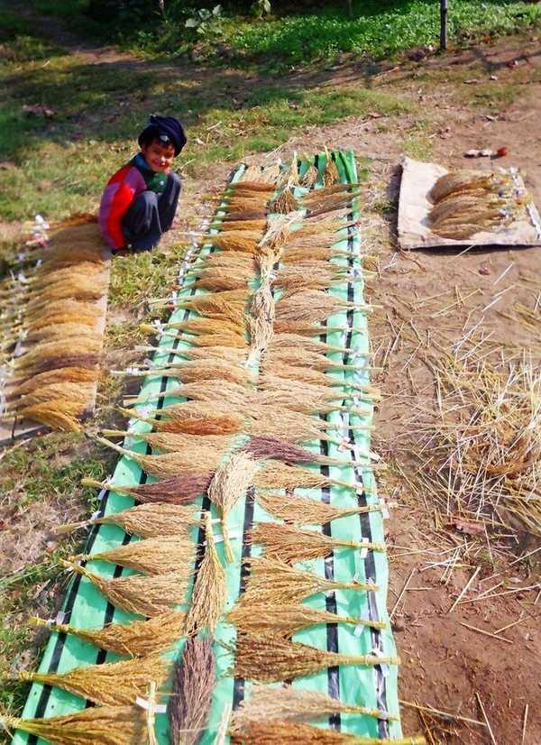 Basudha-_Vrihi_Rice_varieties_collection
