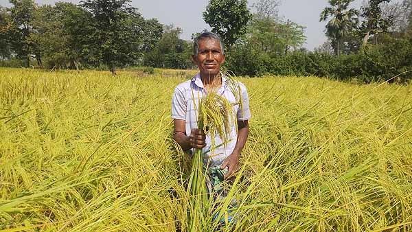 Gobinda_Bhog_native_Rice_variety_farming
